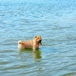 Stock Photo: Dog in water