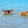 Dog in the water — Foto de Stock