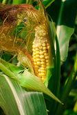 кукуруза, растущих в поле — Стоковое фото