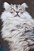 Koty głowa — Zdjęcie stockowe