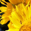 Sunflower — Stock Photo #7850254