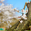 Spring blossom — Stock Photo #7850390