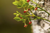 Cranberry growing in the woods — Stock Photo