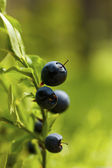 Blueberry and forest — Stock Photo