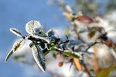 Barbery 枝に霜します。 — ストック写真