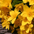 Stock Photo: Marsh marigolds