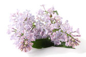 Purple-blue lilac — Stock Photo