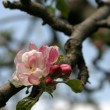 Apple blossom - Stock Photo