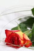 Red-yellow rose — Stock Photo