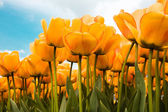 Beautiful Dutch Tulips — Stock Photo