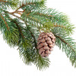 Fir branch with pine cone isolated on white — Foto de Stock