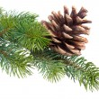 Fir branch with pine cone isolated on white — ストック写真