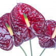 Three purple anthurium (Flamingo flowers) isolated on white — Stock Photo #7490305