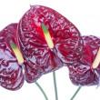 Three purple anthurium (Flamingo flowers) isolated on white — Stock Photo #7490305