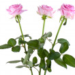 Stock Photo: Three pink rosa, isolated on white