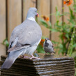 A big dove meets al little house sparrow at a garden fountain — Stock Photo #7490346