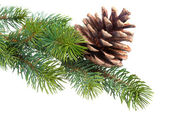 Fir branch with pine cone isolated on white — Photo