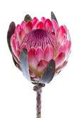Purple protea, isolated on white — Stock Photo
