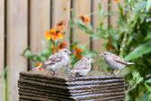 Three little house sparrows at a garden fountain — Stock Photo