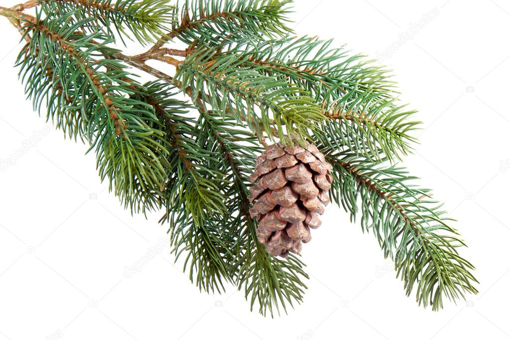 Fir branch with pine cone isolated on white  Stock Photo #7490160