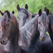 Four beautiful black horses — Stock Photo