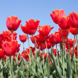 Red tulips from the Netherlands - Stockfoto