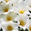 Blossom of beautiful white tulips - Stockfoto