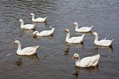 Ośmiu dzikich gęsi, pływanie w jeziorze — Zdjęcie stockowe