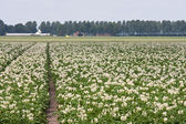 Field of blooming potato plants in the Netherlands — Stock Photo