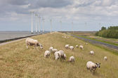 Grazing sheep with some big windmills in the sea behind them — Stock Photo