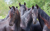 Four beautiful black horses — Stock Photo