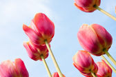 Beautiful red tulips facing the blue sky — Stock Photo