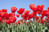 Röda tulpaner från Nederländerna — Stockfoto