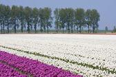 Dutch white and purple tulip field — Stock Photo