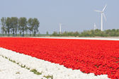 Tulip fields with windturbines — Stock Photo