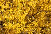 Beautiful yellow Forsythia in april — Stock Photo