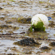 Stock Photo: Buoy covered with algal growth at ebb tide