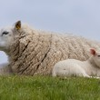 Sheep with little lambs, resting in the grass — Stock Photo