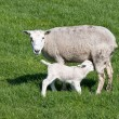 Thirsty Young lamb nursed by his mother — Stock Photo