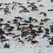 Stock Photo: Troop wild goose grazing in wintertime