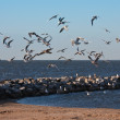 Flock of seagulls, flying above the beach of Urk, the Netherland — Stock Photo