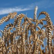 Ripe summer wheat — Stock Photo