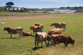 Breton cows grazing near the sea on the isle of Brehat in France — Stock Photo