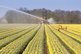 Field of yellow tulips with sprinkler installation for irrigatio — Stock Photo