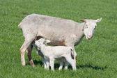 Unga lamm vårdade av sin mor — Stockfoto