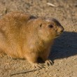 Watchful guinepig in dutch zoo — Stockfoto #7561127