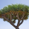 Stock Photo: Dragon tree at LPalma, Spain