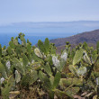 Cactus field at La Palma, Canary Islands — Stock Photo