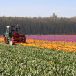 Stock Photo: Cutting the tops of tulips at a dutch bulb farm