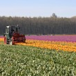 Cutting the tops of tulips at a dutch bulb farm — Stock Photo